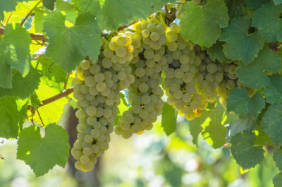 Chardonnay characteristics and territories: ampelography