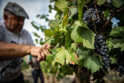 vegan wine vineyard