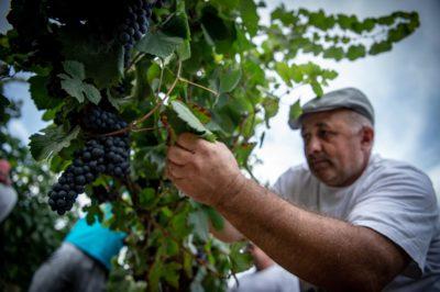 vino passito vigne